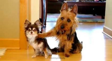 8 Dogs Who Are Definitely Guilty, But So Cute You Have To Forgive Them [VIDEOS]