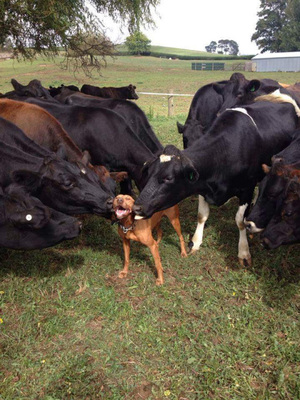 7 Dogs Who Love Cows For Cow Appreciation Day - Dogtime