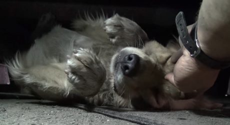 Scared Golden Retriever Covers Eyes Like A Frightened Child During Rescue [VIDEO]