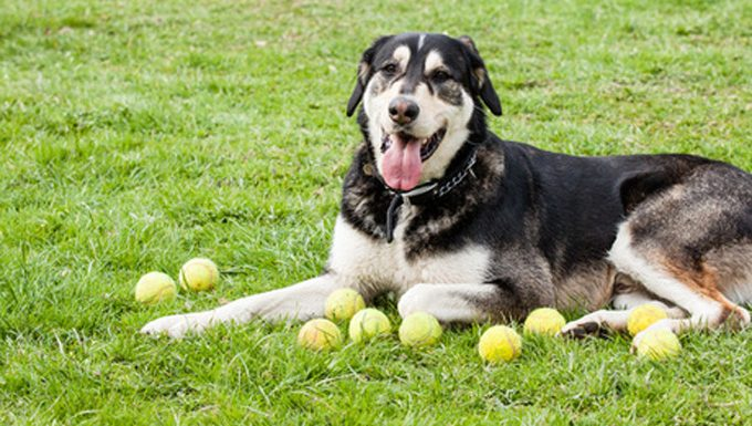 mixed breed dog on grass with tennis balls