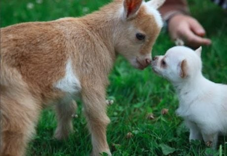 Chihuahua Puppy Thinks She's A Baby Goat