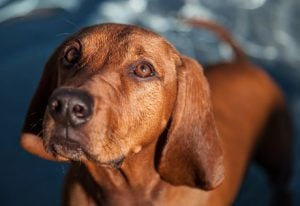 Canine Cancer: Thyroid Gland Neoplasia