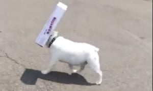 Bulldog Won't Give Up His Box Even To See Where He's Going [VIDEO]