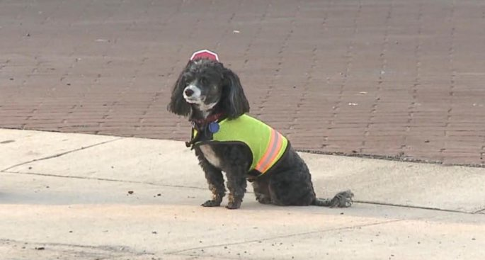 poodle-crossing-guard