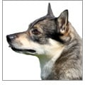 ' ' from the web at 'http://cdn1-www.dogtime.com/assets/uploads/2015/08/square_120_what-is-a-swedish-vallhund.jpg'