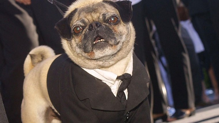 LOS ANGELES, UNITED STATES: Cast member Frank the Pug arrives for the premiere of Men in Black II June 26, 2002 in the Westwood area of Los Angeles. AFP PHOTO/LEE CELANO