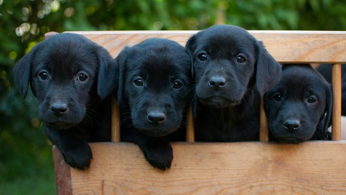 four black lab puppies in a wooden box