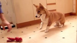 8 Corgis Doing The Corgi Dance