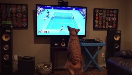 Golden Retriever Watching The Tennis U.S. Open Can't Contain Himself