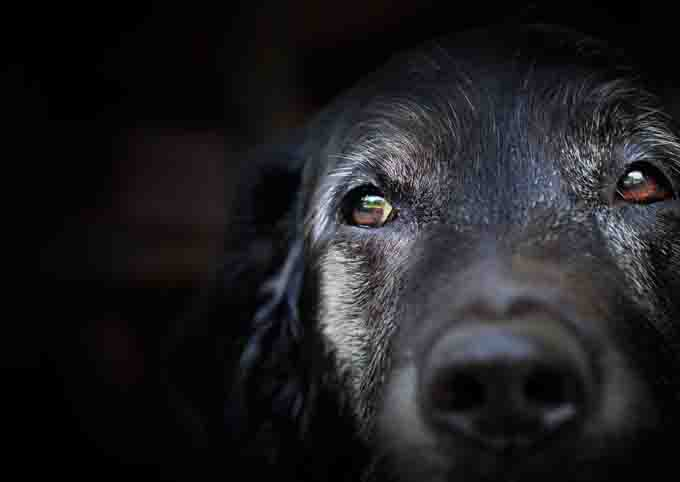 Large black dog with gray fur of age around his face.