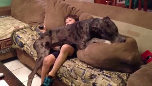 7 Great Danes Who Think They Are Lap Dogs