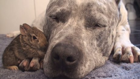 7 Videos Of Pit Bulls Being Cute, Funny, And Awesome