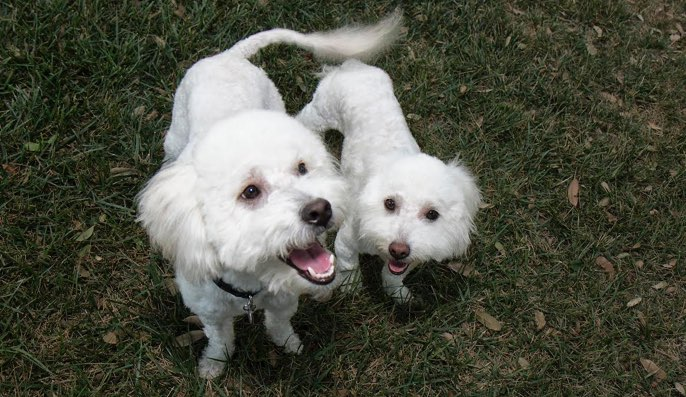 poodles-rescued-los-angeles-swewer-after