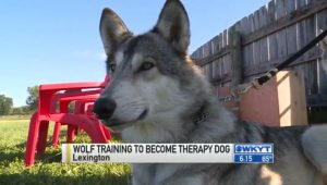 This Wolf Is Training To Be A Therapy Dog
