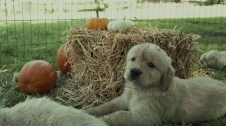 Golden Retriever Puppies Experience Fall For The First Time [VIDEO]