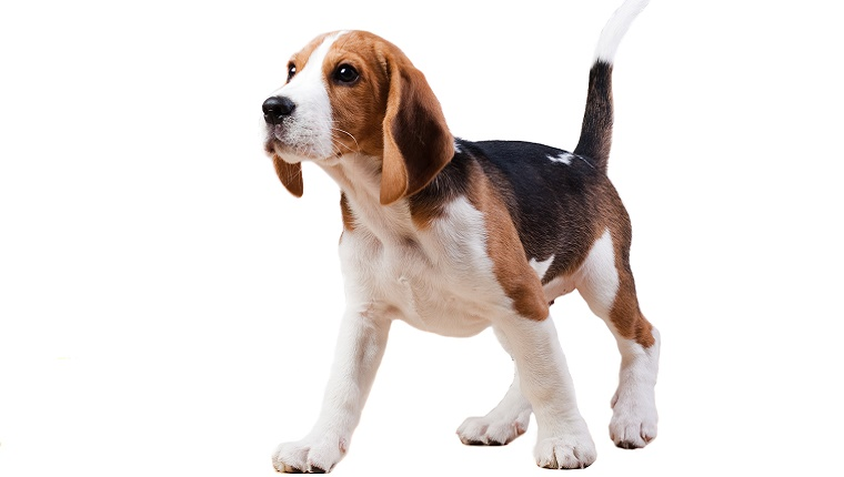 A Beagle stands against a white background.