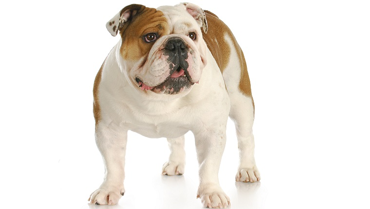 A friendly-looking Bulldog stands against a white background.