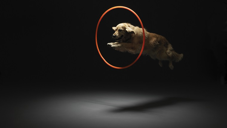 Golden retriever jumping through plastic hoop (digital composite)