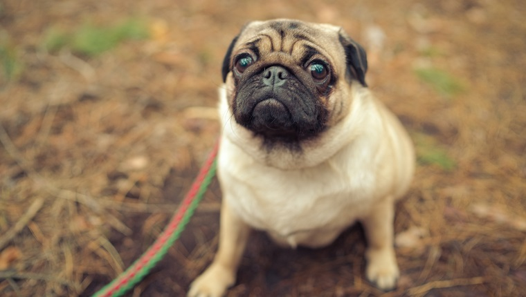 From above adorable pug dog sitting on ground in park and looking away