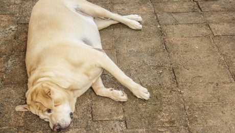 Diabetes Insipidus And Diabetes Mellitus In Dogs: Symptoms & Treatments
