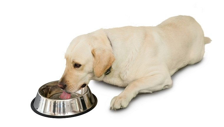 A Labrador lies down and drinks water from a metal bowl.