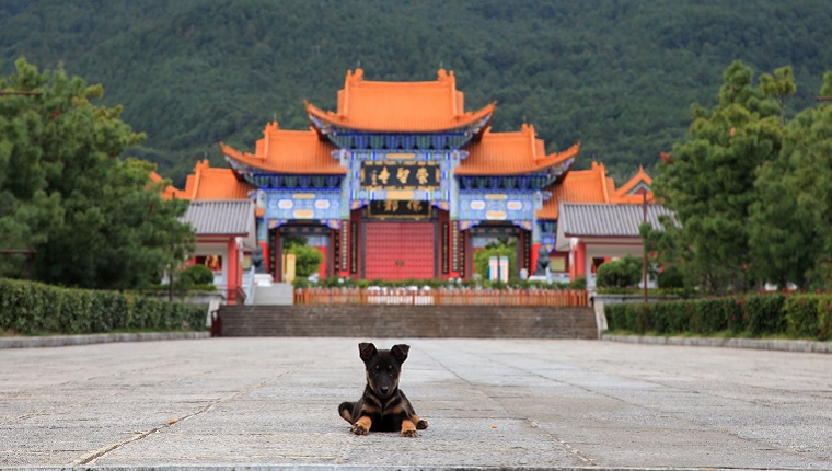 A small dog lies in front of a pagoda building in China.