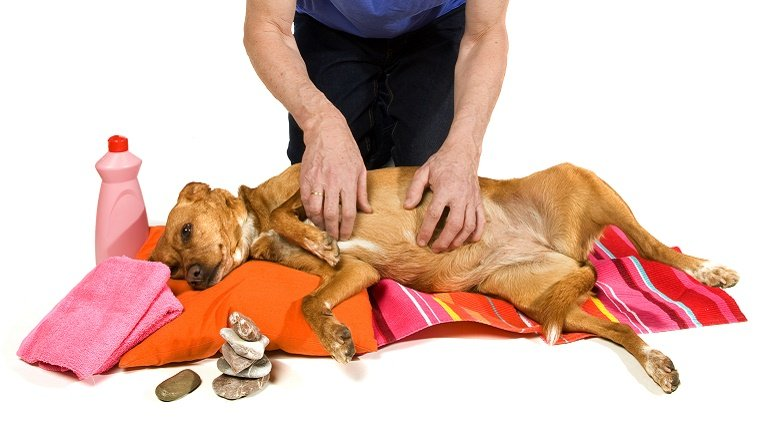 A dog lies on a towel and pillow while getting a massage from a human.