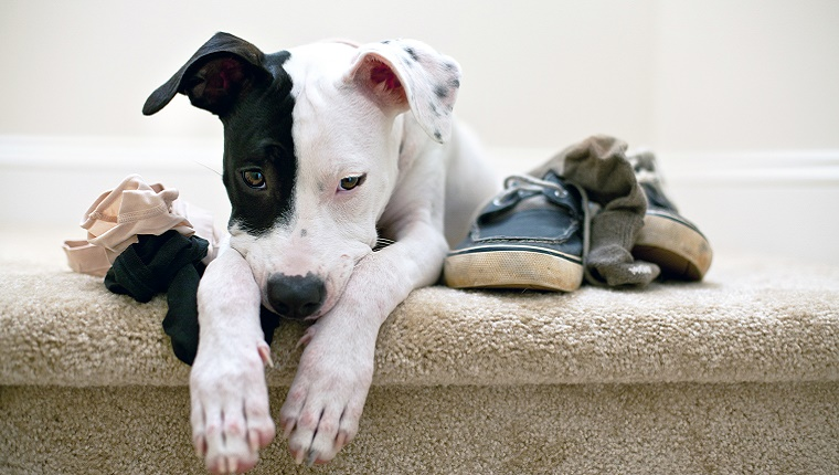 A Pit Bull lies on top of some socks, underwear, and shoes.