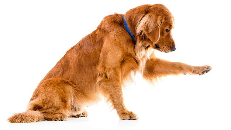 A Golden Retriever with a blue color sits with one paw reaching out on a white background.