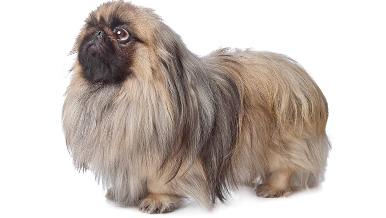 A Pekingese with a dark snout and long fur stands in front of a white background.