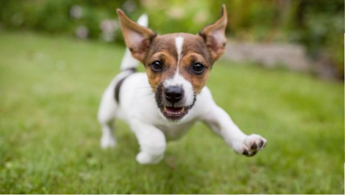 jack russell terrier puppy running in grass