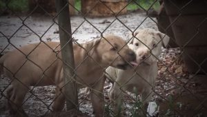 23 Pit Bulls Saved From North Carolina Dog Fighting Operation