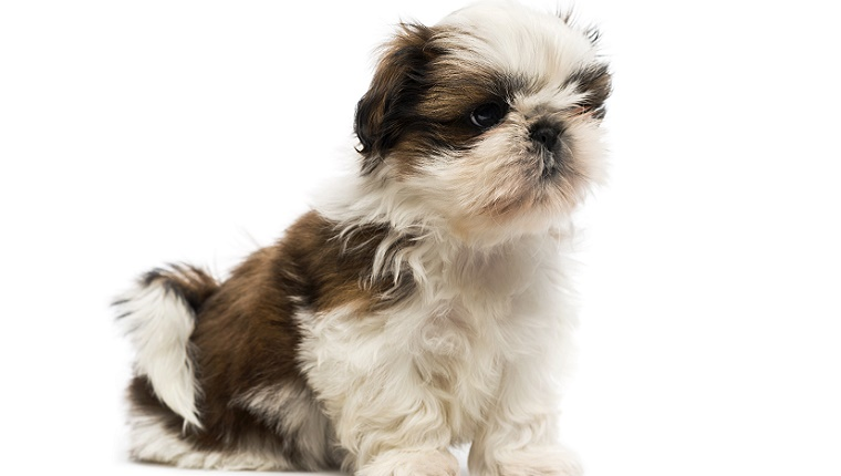 A Shih Tzu puppy with a white spot on his head sits in front of a white background.