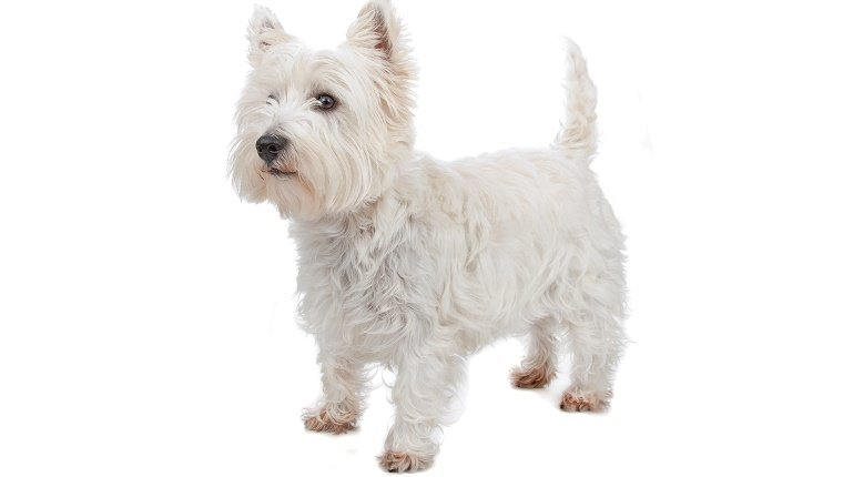A West Highland White Terrier stands against a white background.