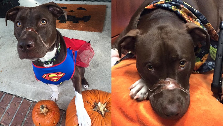 A brown and white Pit Bull Terrier with scars on her muzzle stands with a Superman outfit on the left and lies on a blanket on the right.