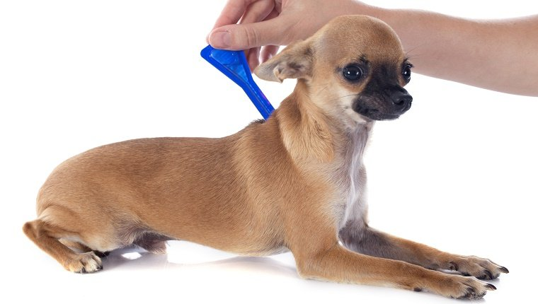 A Chihuahua lies down while a person applies tick medication.