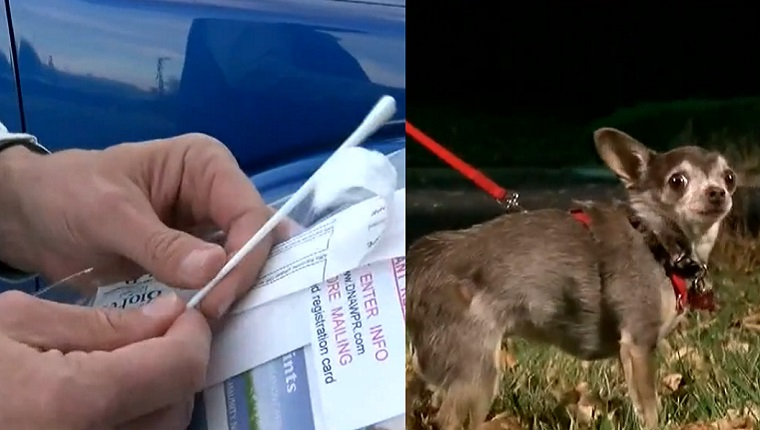 On the right a man holds a cotton swab and a sample bag. On the left, a Chihuahua on a leash walks through the grass at night.
