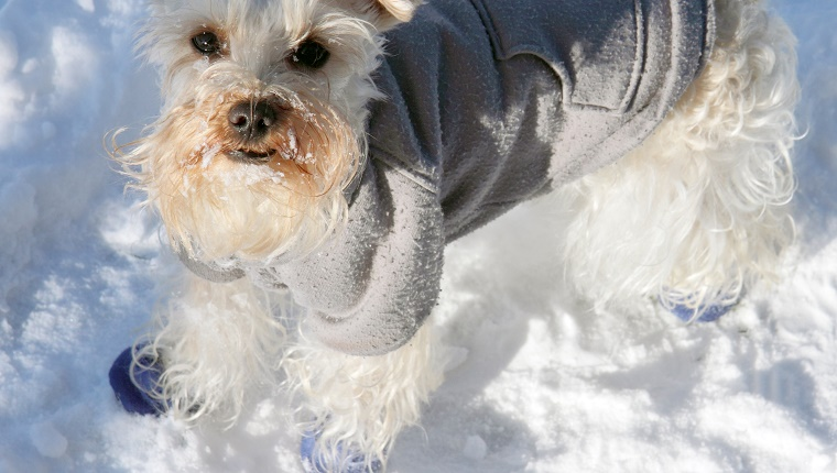 A small white dog wears a coat and rubber boots in the snow.