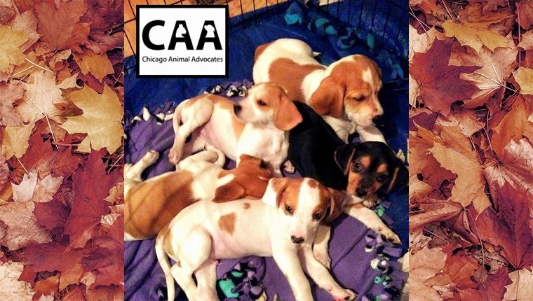 Five Beagle puppies sit on a blanket together.