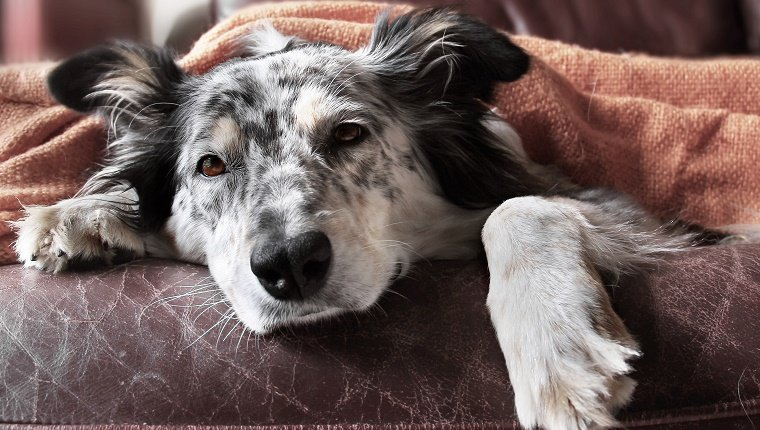 A dog with grey and black spots lies on a sofa underneath a blanket.