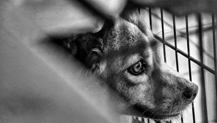 A black and white photo of a dog looking out from a cage.