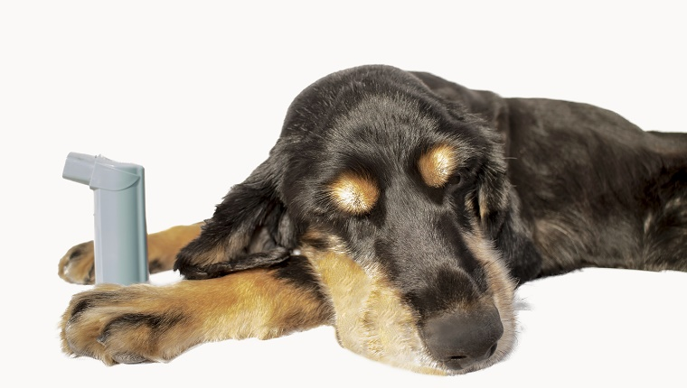 A black and brown dog lies with an asthma inhaler between his front paws.