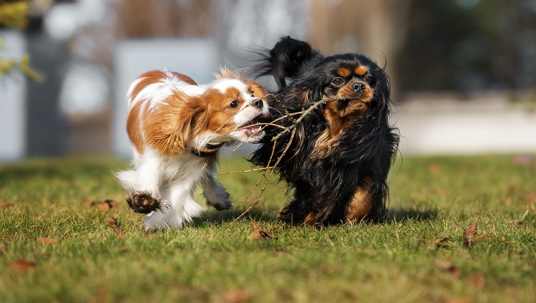 two cavalier king charles spaniel dogstwo cavalier king charles spaniel dogs
