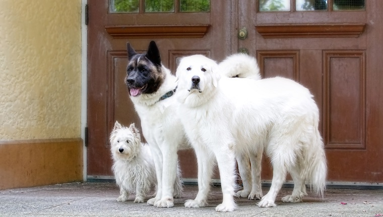 Portrait of a lovely trio of dogs, a Japanese Akita Dog, Great Pyrenees and a West Hyland Terrier.
