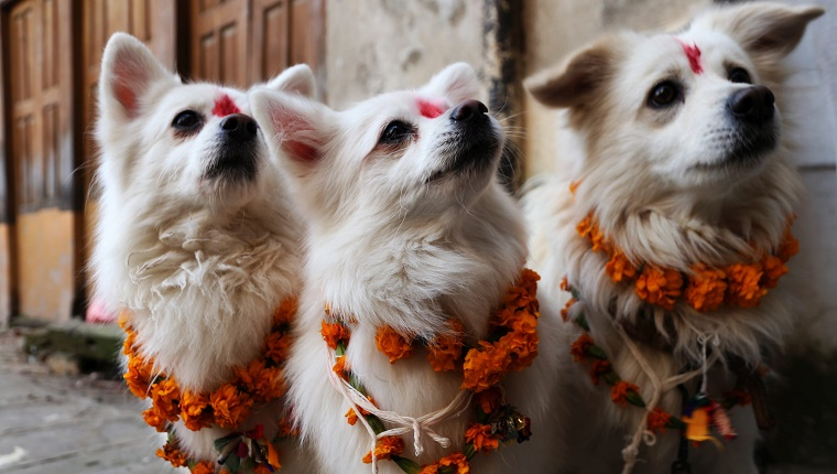 Three white dogs have red painted spots on their foreheads and wreaths of flowers on their necks for the festival.
