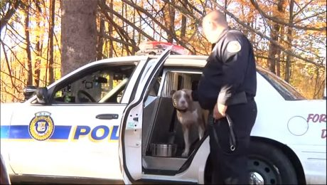 Rescued Pit Bull Joins K9 Unit In New York And Fights Stereotypes