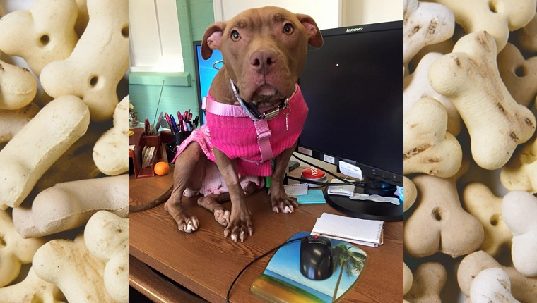 Precious, a brown Pit Bull, sits on a desk in front of a computer monitor.