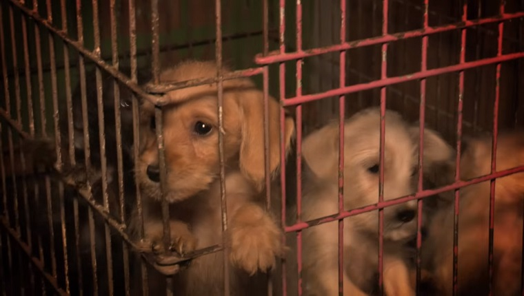 A puppy looks out from a wire cage while other puppies clamor around him.