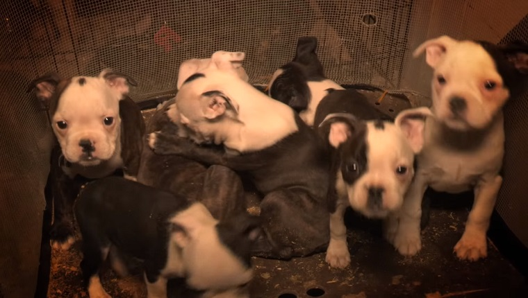 Several puppies crowd together in a small enclosure.
