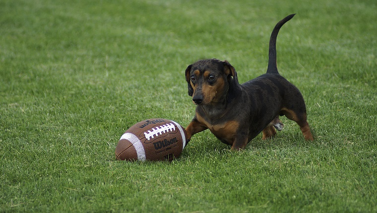 A Dachshund chases a football in a grassy field.